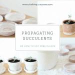 Succulents in pots
