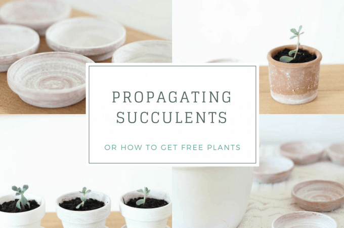 Propagating succulents | or how to get free plants!
