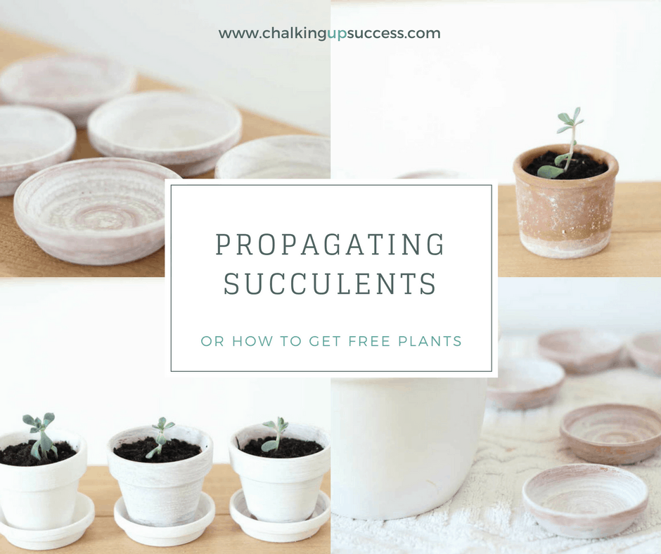 Even f you're no good with houseplants, you'll be able to keep succulents alive - at least I've never killed one yet and that's saying something! They are super easy to propagate too so from one plant you get loads of freebies and who can say no to that?