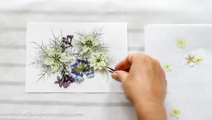 Making a collage of pressed flowers including 'love in a mist' and single cream hydrangea flowers.