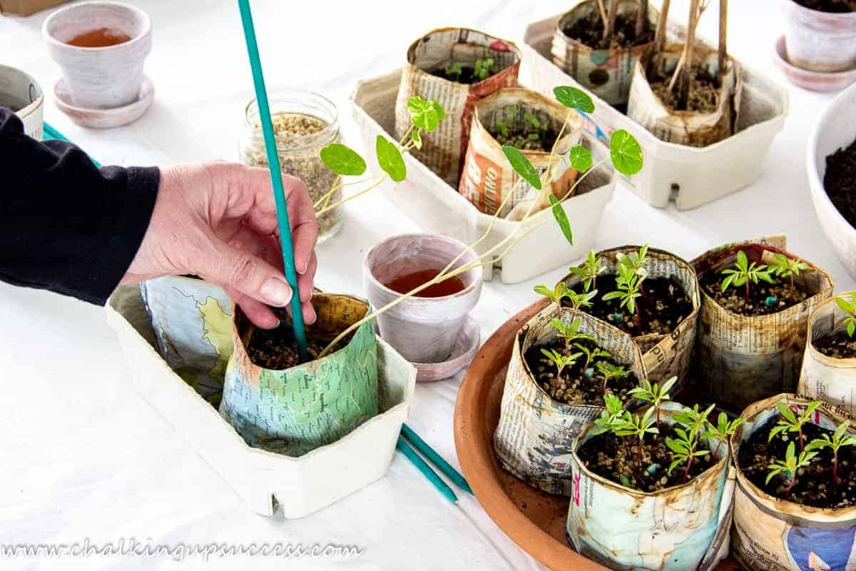 Adding a stake to a newspaper pot as a support for climbing nasturtiums