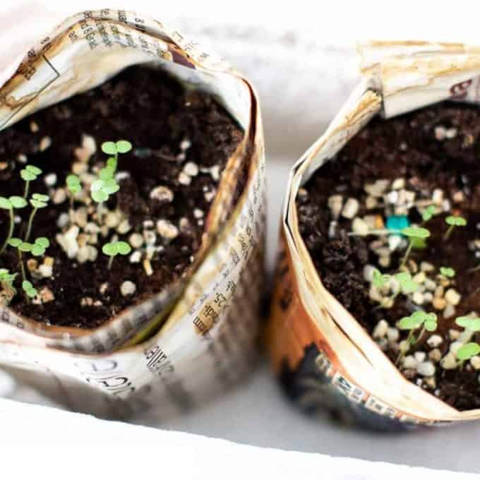 Newspaper seedling pots filled with tiny snapdragon seedlings.